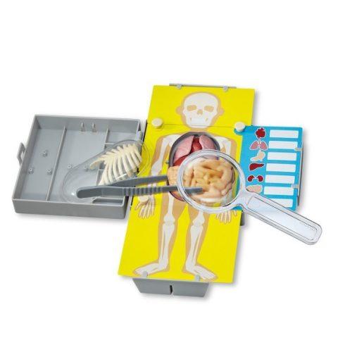 Az emberi test anatómiája - Torzó